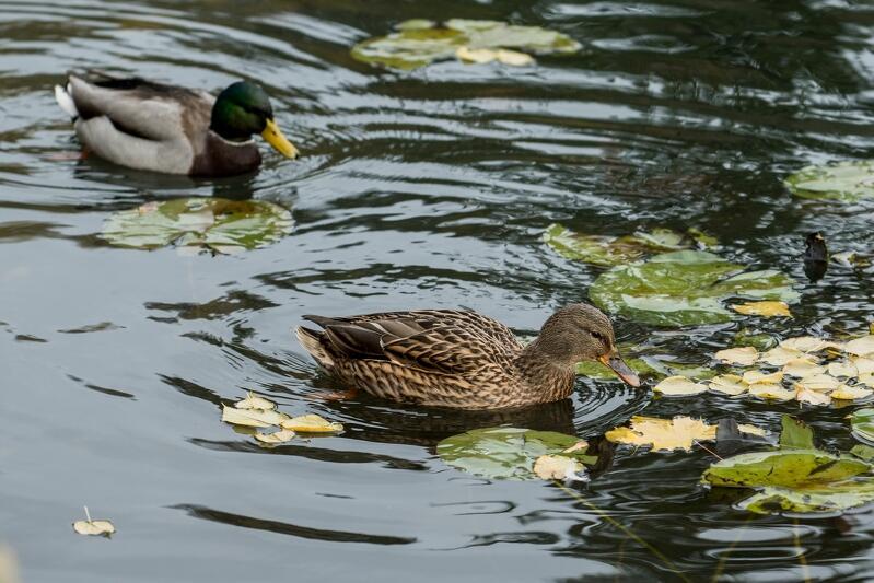 Głównymi adresatkami projektu miały być kaczki, `od zawsze` rezydujące na parkowych stawach