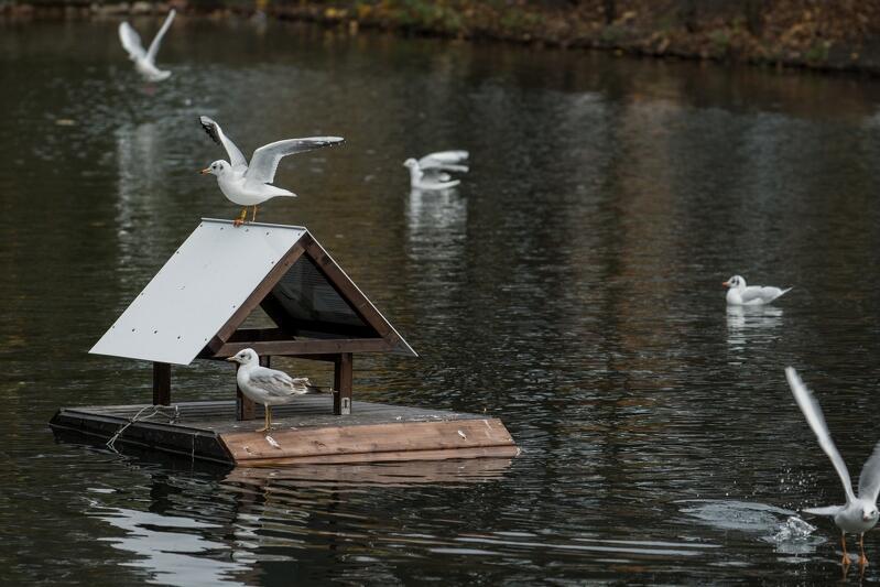 Pierwszy w Gdańsku pływający domek na platformie domek dla ptaków znajduje się na stawie w Parku Oliwskim