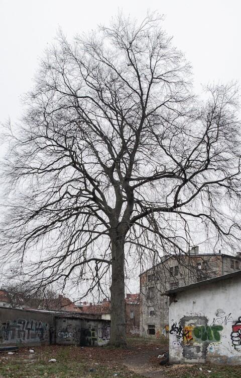 Oto 150-letni buk, który stoi przy ul. Jesionowej
