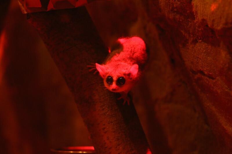 Lemurek myszaty jest zwierzęciem nocnym. W Gdańskim Ogrodzie Zoologicznym zamieszkał po sąsiedzku z lwami