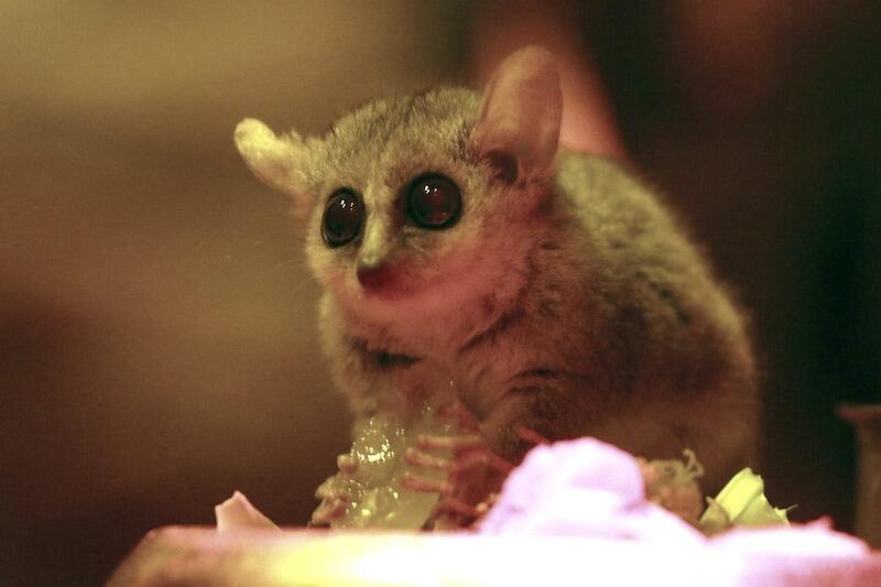 Lemurek myszaty pochodzi z Madagaskaru. Jego naturalnym środowiskiem są lasy tropikalne, cierniste zarośla oraz plantacje