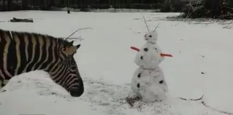 Najodważniejsza zebra jako pierwsza postanowiła sprawdzić, cóż to za biały stwór pojawił się na jej wybiegu