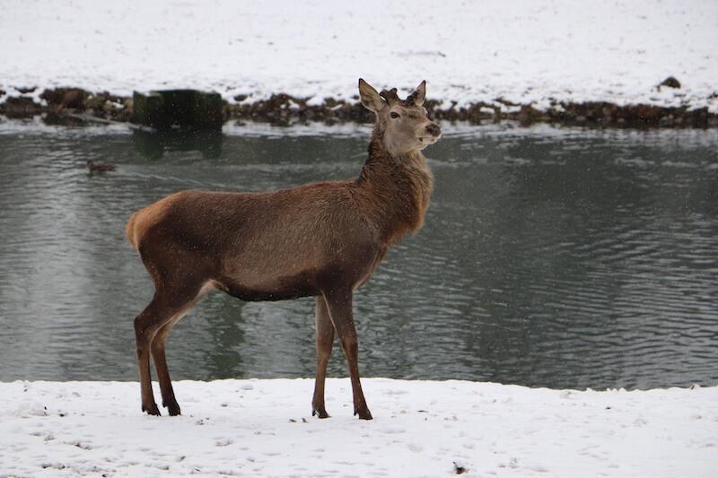 Poroże jest zrzucane przez jelenie najczęściej między lutym i marcem. Odrasta szybko, nawet w ciągu trzech miesięcy. Dzieje się to przed rykowiskiem, czyli okresem godowym, które przypada jesienią