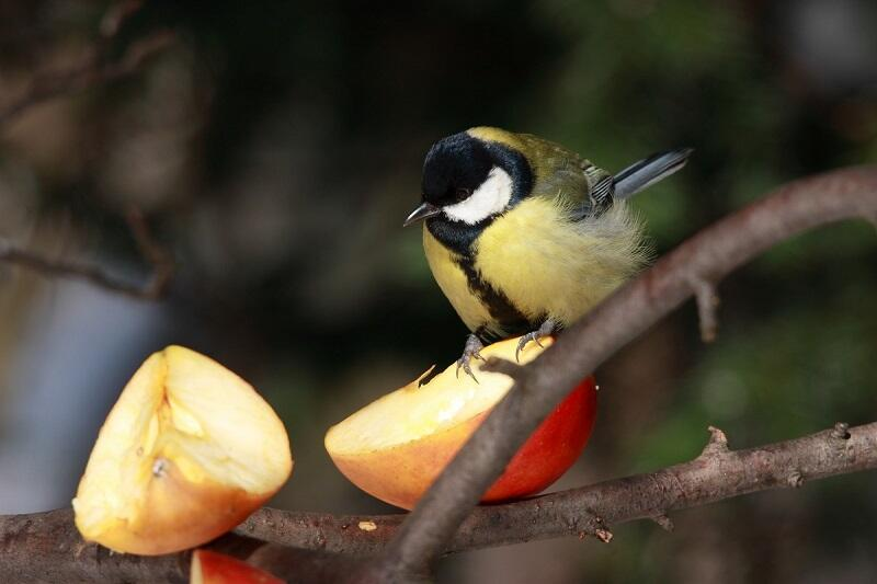 Bogatka lubi także jabłka, to ją najczęściej powitamy w naszym karmniku