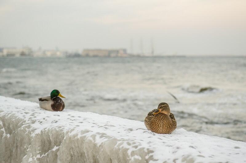 Kaczki w zimowej aurze przy gdyńskim bulwarze