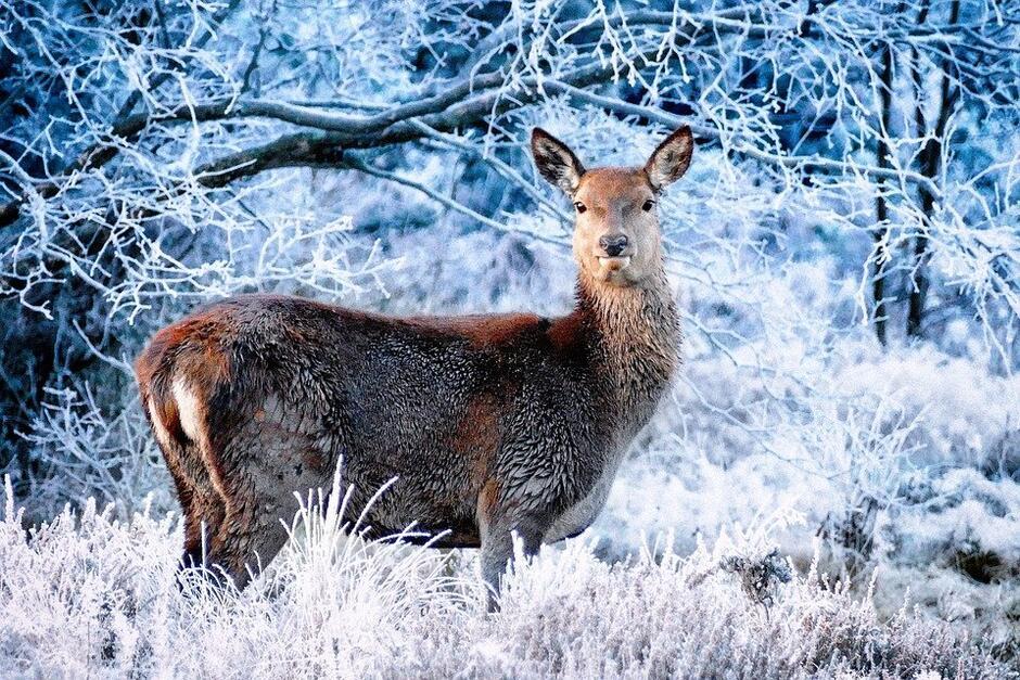 Podczas zimowego spaceru w lesie może zobaczymy sarnę - fot. z Pixabay