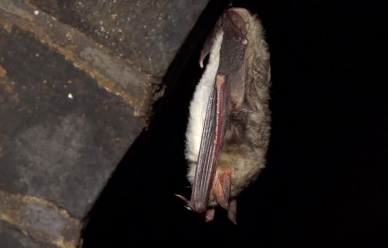 Hibernacja służy nietoperzom do oszczędzania energii. Przygotowując się do zimowego snu, ssaki te intensywnie się odżywiają, aby zgromadzić wystarczające do przeżycia zapasy tłuszczu