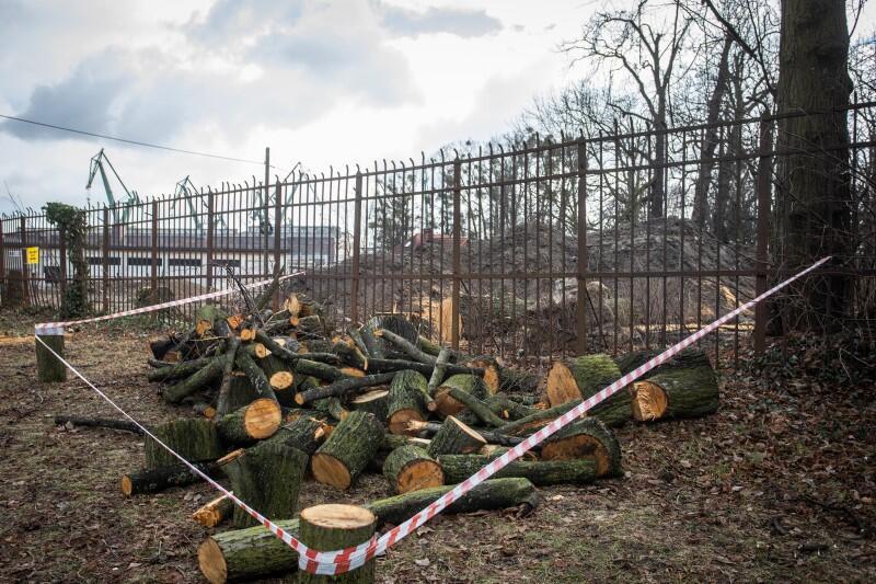 Ślady po wycince drzew w Parku Steffensów zostały zabezpieczone