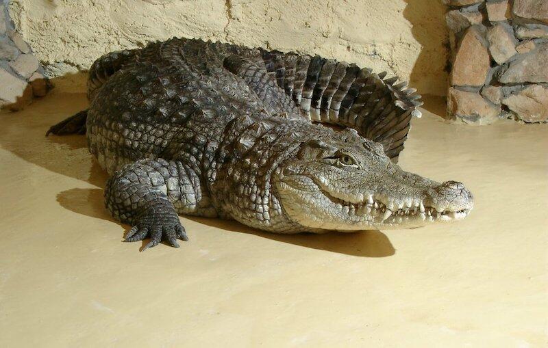 Nz. Krokodyl nilowy Franek, który mieszka w gdańskim zoo od 1964 roku