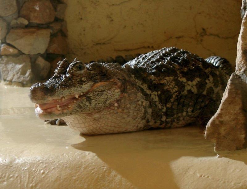Sulango, zwana pieszczotliwie Szczerbatką  to najstarsza mieszkanka Gdańskiego Ogrodu Zoologicznego. Mieszka tu od 1956 roku i jest jedyną przedstwicielką kajmana szerokopyskiego spośród polskicg ogrodów