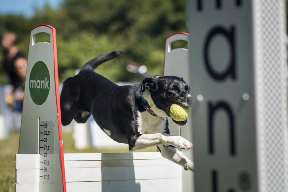 Pies w trakcie zawodów