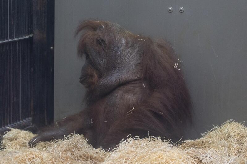 orangutany_zoo_08_799x533.JPG