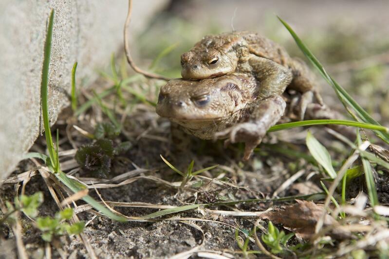 Żaby są w Polsce pod ochroną. By dotrzeć do bezpiecznych sadzawek, gdzie chcą się rozmnażać, często muszą ulicę minąć ulicę. Kierowco! Miej oczy szeroko otwarte