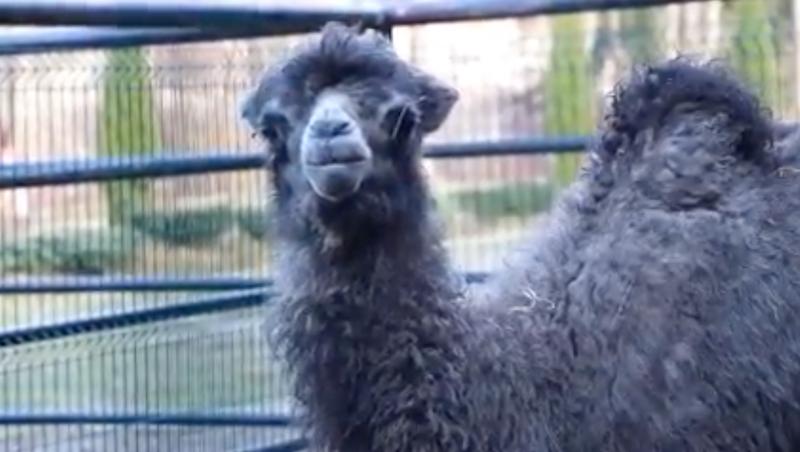 Ma miesiąc, jest zdrowa i czuje się świetnie. Czy widzieliście już samicę wielbłąda dwugarbnego?