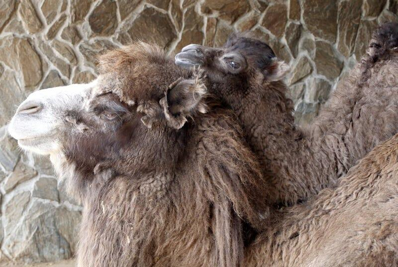 Wisełka - takie imię nadano małej samicy wielbłąda dwugarbnego z gdańskiego zoo, która uwielbia tulić się do mamy