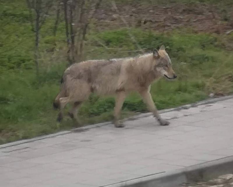 Wilk po raz pierwszy widziany był w Gdańsku-Letnicy około godziny 16