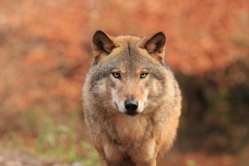 Wilk to praprzodek psa domowego. Jest inteligentnym drapieżnikiem o dużej sile szczękościsku