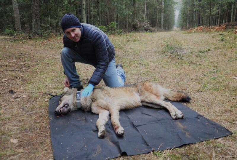 mężczyzna na polanie w lesie pochyla się nad śpiącym wilkiem, który leży na plandece