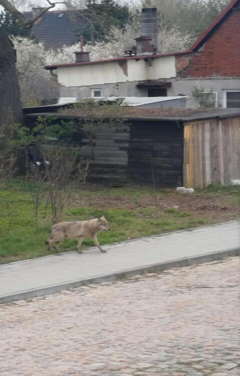 Wilk widziany w Letnicy to najprawdopodobniej ten sam osobnik, który pojawia się w okolicach gdyńskiego Chwarzna. Ma podobne umaszczenie