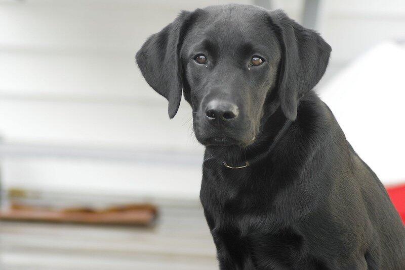 Wszczepienie czipa jest możliwe u psa, który ma przynajmniej 3 miesiące