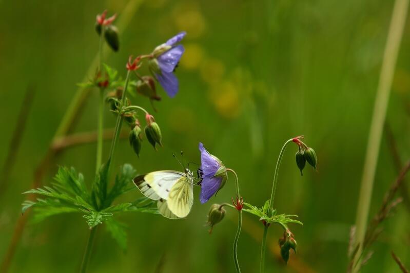 Na kwitnących fioletowych kwiatach w kształcie dzwonków siedzą motyle