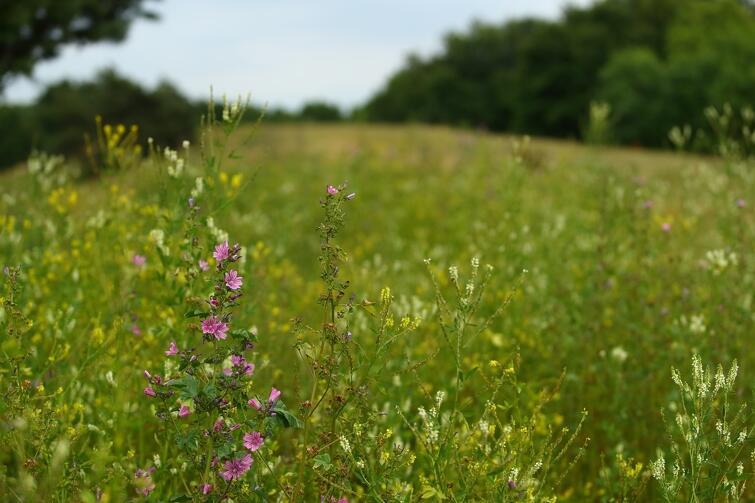 zielona łąka i fioletowe wysokie kwiaty w kształcie dzwonków
