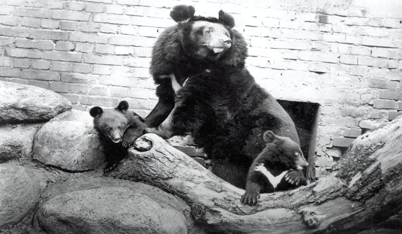 Nz. Małgosia - niedźwiedzica himalajska i jej potomstwo