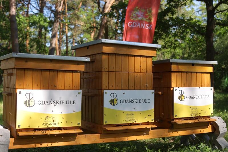 Pięć gdańskich uli w Parku Reagana, a w nich pszczoły krainki kaszubki