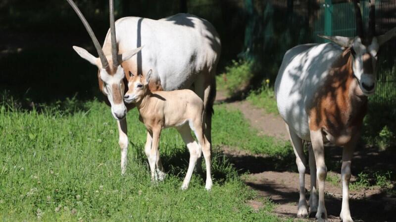 Rodzina gdańskich oryksów: urodzona dwa tygodnie temu samiczka z mamą Pyzą i tatą Widgedem
