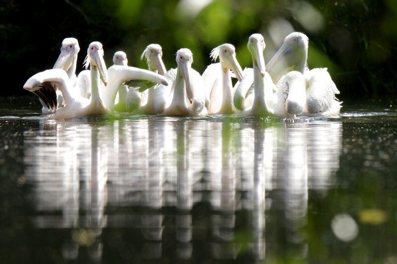 Pelikany czekają na zwiedzających...