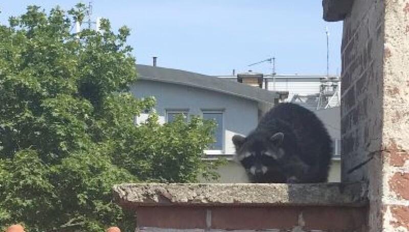 Pani szopowa - dzielna matka na dachu 2-piętrowego domu przy al. Wojska Polskiego. Zdjęcie wykonał jeden ze strażaków, uczestniczących w akcji