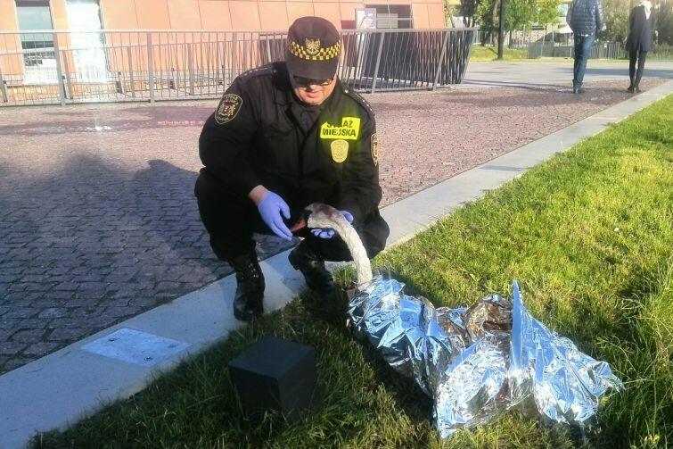 Sytuacje, w których funkcjonariusze Straży Miejskiej pomagają zwierzętom nie należą do rzadkości. Takie interwencje bardzo często wymagają odpowiedniej wiedzy, specyficznych umiejętności oraz specjalistycznego sprzętu
