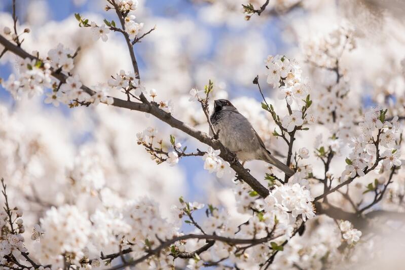Nowy Port. Wiosenny portret gdańskiego wróbla - a jakie ptaki spotkać można latem na Górze Gradowej?