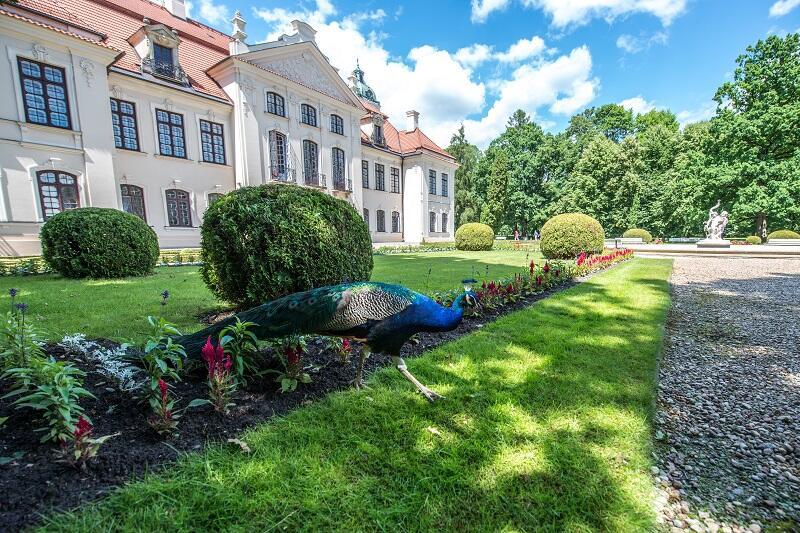 Jak na pałacowy ogród przystało, w Kozłówce spotkamy i usłyszymy także pawie, które czasem wzlatują wysoko, na drzewo
