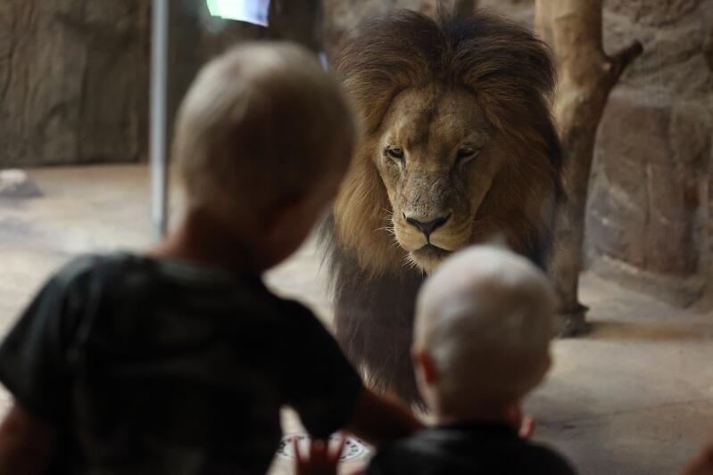 W Międzynarodowym Dniu Lwa można było na własne oczy zobaczyć karmienie lwów angolskich