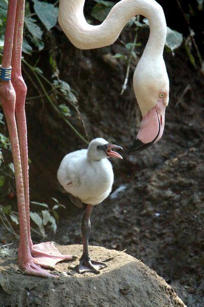Pisklę flaminga