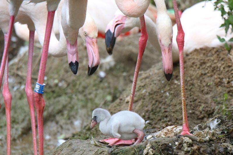 Pisklę flaminga wykluło się 31 sierpnia