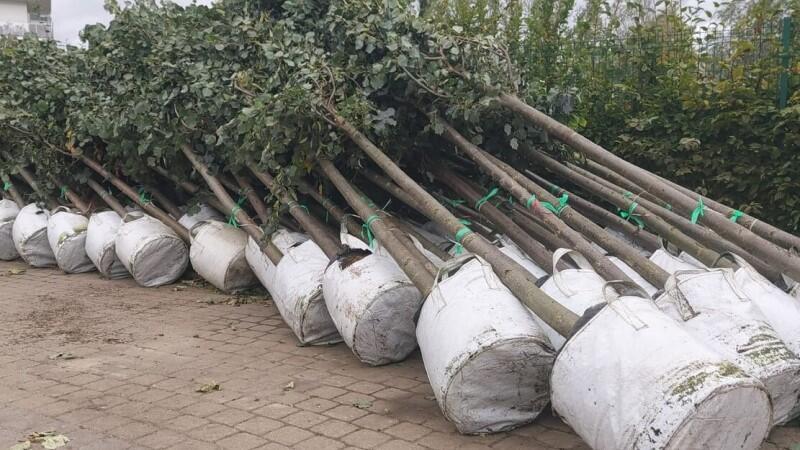 Zdjęcie przedstawia rosłe sadzonki lip drobnolistnych, ułożonych rzędami wpozycji półleżącej - przygotowane do transportu. Systemy korzeniowe drzewek chronione są specjalnymi foliowymi donicami. Drzewka ułożone są koronami wlewo
