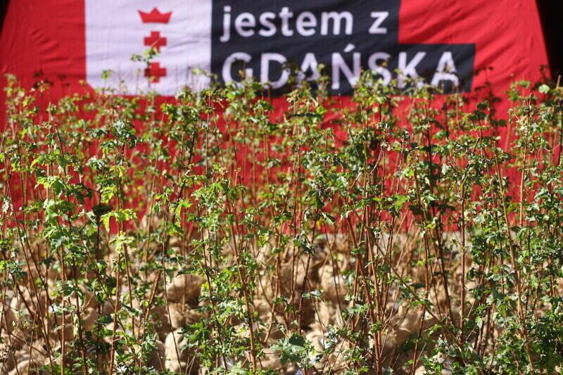 W sobotę, 9 października, na dziedzińcu UMG czekało na chętnych 300 sadzonek klonu polnego