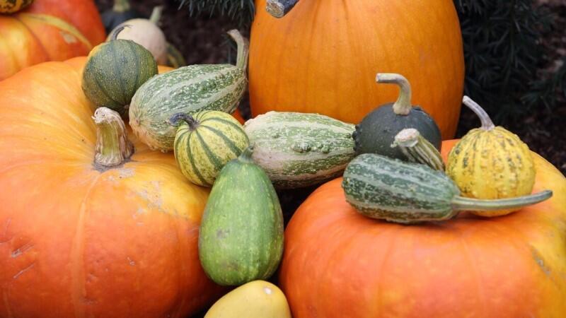 W sumie 4 tony dyń jako jesienna ozdoba w 12 punktach miasta. Wprawdzie dynia uważa jest za warzywo, jednak z botanicznego punktu widzenia za sprawą słodkiego miąższu klasyfikowana jest jako owoc.