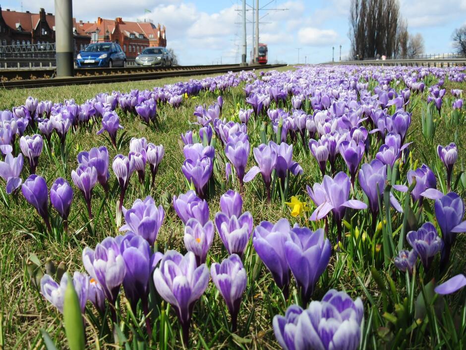 Krokusy na gdańskich zieleńcach zwiastują nadejście wiosny