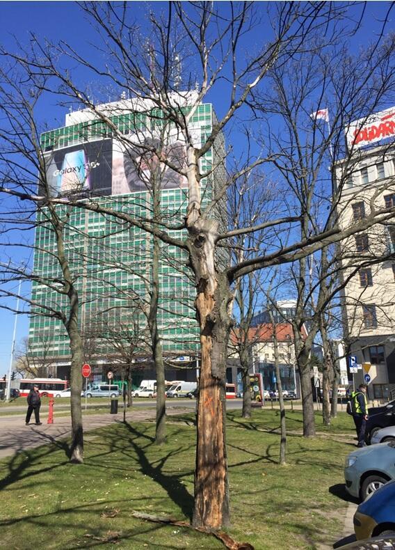 Martwe drzewo przeznaczone do wycinki
