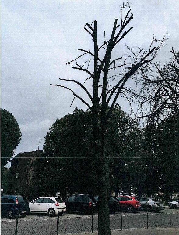 Drzewo przeznaczone do usunięcia na ul. Podbielańskiej