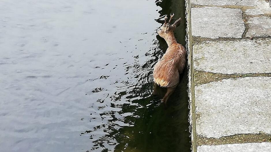 jeleń w kanale Raduni 1200px_1