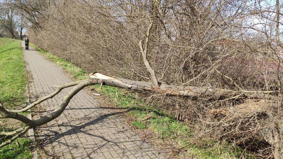 Drzewa Oplyw Motlawy 01