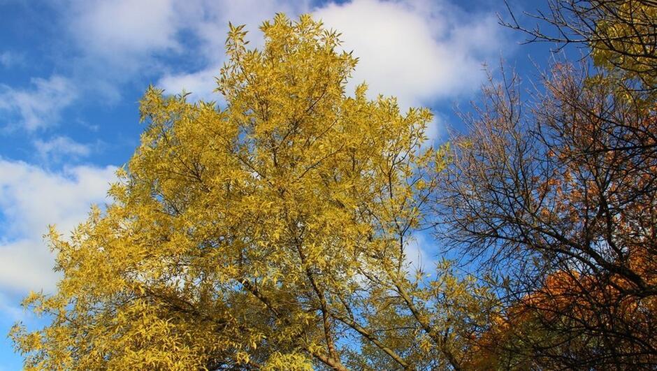 korony drzew z żółtymi liśćmi niebo chmury