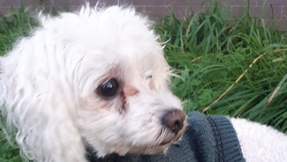 biały pies w czarnym sweterku trawnik fragment muru