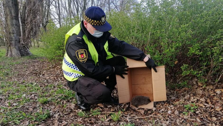 Strażnik wypuszcza jeża na wolność w parku