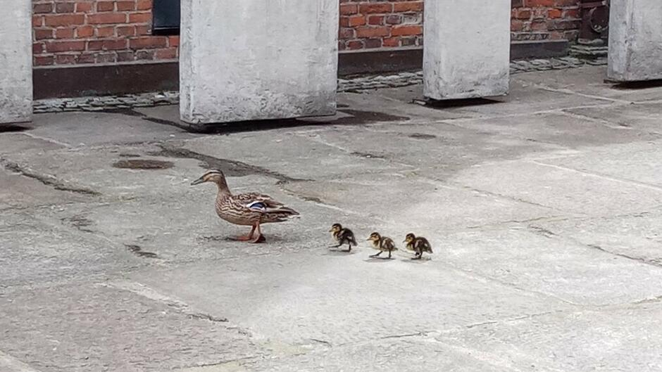 Kacza rodzina w drodze z Dworu Arusa do Motławy