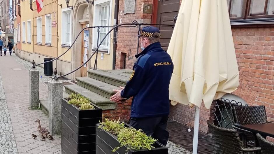 Strażnik pomaga w przeprowadzeniu rodziny kaczek z Dworu Artusa do Motławy_2